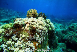 Reef Mauritius ,Soft Corals Pointe Aux Piments Mauritius ... by Jean-Yves Bignoux 